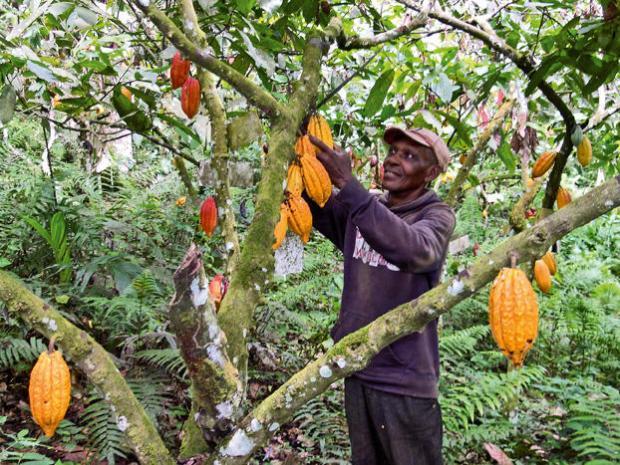Cocoa  Nigeria ratifies International Cocoa Agreement Cocoa