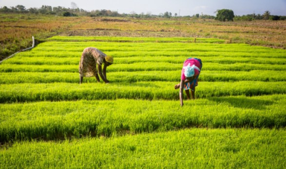 women-engaged-in-dry-season-rice-farming-through-irrigation