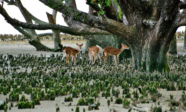 Wild deer in the Sundarbans. The forest is home to more than 1,000 species including Bangladesh's last population of tigers Photo credit: Majority World/Getty Images