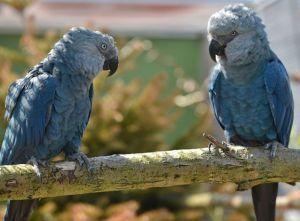 Spixs macaw