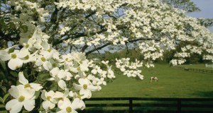 dogwood-tree
