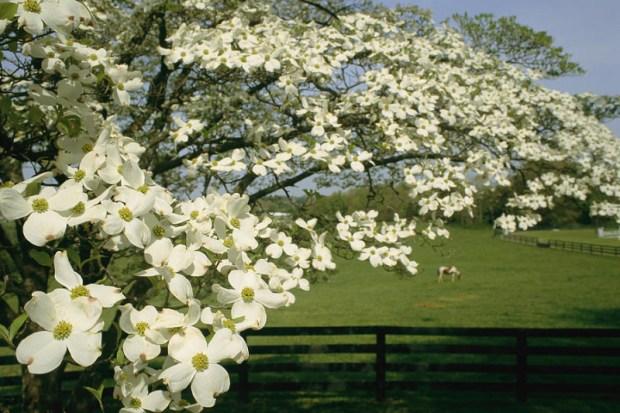 The flowering dogwood tree