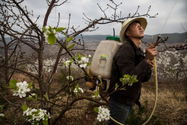 A Chinese farmer spays pesticide on an apple tree. Heavy pesticide use on fruit trees in the area caused a severe decline in wild bee populations, and trees are now pollinated by hand in order to produce better fruit. Farmers pollinate the pear blossom individually. Hanyuan County describes itself as the 'world's pear capital', but the long-term viability of hand pollination is being challenged by rising labour costs and declining fruit yields. Photo credit: Kevin Frayer/Getty Images