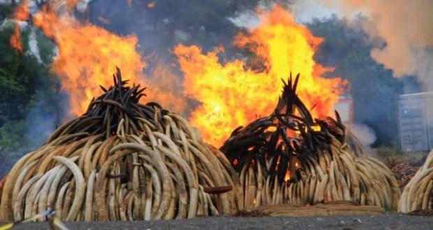 Ivory piles burn at Kenya's Nairobi National Park, April 30, 2016. Photo credit: J. Craig/VOA