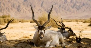 Saharan Addax antelopes