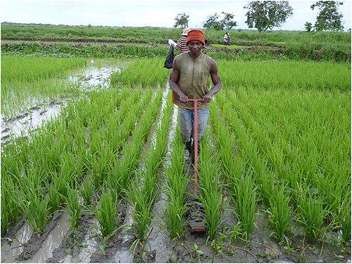 A farmer using a mechanical weeder  Weed control: 11,000 farmers for IITA's on-farm trials Weeder