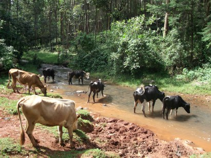 Water is essential nutrient for livestock  Shrinking Kenya rivers endanger Tionosoyiet Wetland in Kericho Kenya2