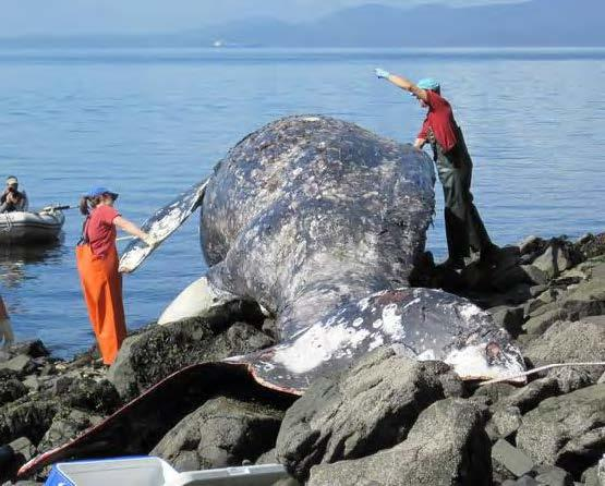 A dead gray whale that got stranded in Samish Bay in 2010. Photo credit: Cascadia Research Collective