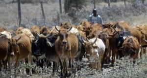 kenya cattle