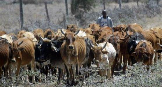 kenya-cattle1