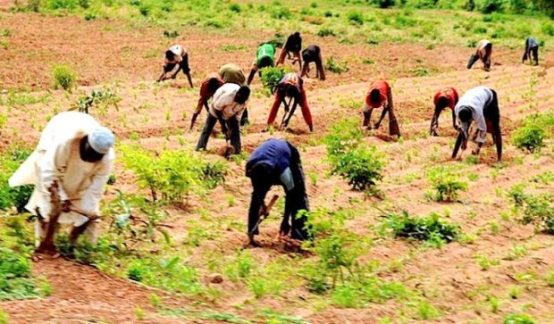 In northern Nigeria, farming is among efforts meant to curb desertification and drought  CRIC seeks to make land resilient to degradation yam farmers e1477088953953
