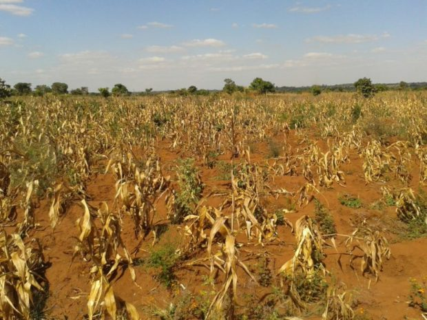 Destroyed fields of maize in Katsumwa, Malawi. The ARC has come to the rescue  Drought: Malawi to receive $8m insurance payout crops e1479318319586