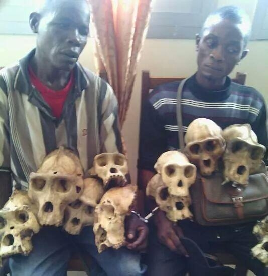 Need for proper wildlife conservation: In Cameroon, some 32 chimpanzee skulls have been seized since the beginning of 2016 during operations carried out under the framework of the wildlife law enforcement initiative  Conservationists seek inclusive participation in protected areas skulls