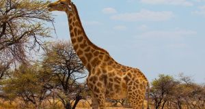 global giraffe population