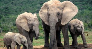 Sumatran elephants  Groups demand protection of forest harbouring endangered Asian elephant species Sumatran elephants