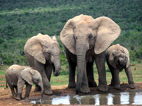 Sumatran elephants  Groups demand protection of forest harbouring endangered Asian elephant species Sumatran elephants