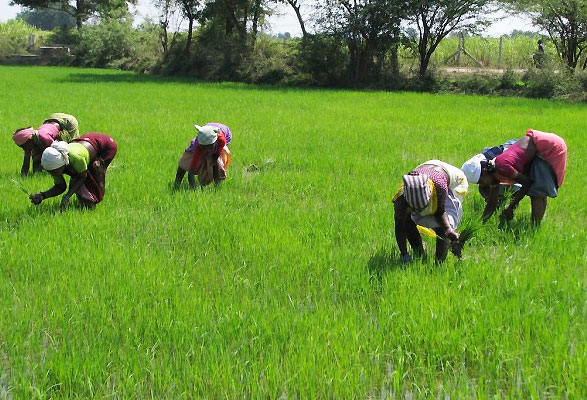 rice-farming  Dangote, rice farmers, Sokoto sign rice growers' scheme agreement rice farm