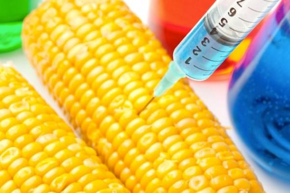 GM-Maize