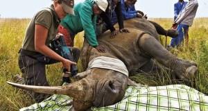 Dehorning-Rhino