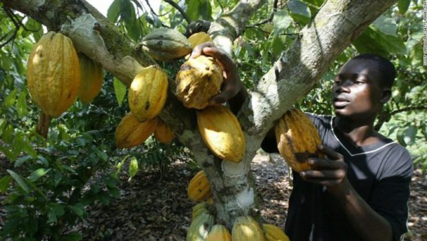 Cocoa-Ghana  Study identifies cocoa cultivation as lead cause of deforestation in Ghana Harvesting Cocoa e1493135521237