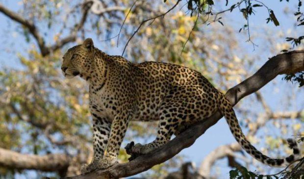 leopard  12m Euro SOS scheme to help carnivores, humans coexist leopard e1492446967263