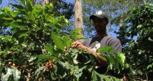 Dominican Republic coffee  NAMA: Dominican Republic to curb emissions in coffee cultivation Dominican Republic coffee e1501192990254