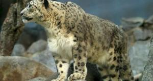 snow leopard  Leaders told to take concrete action to save the snow leopard snowleopard