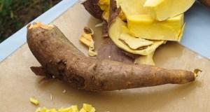 GM cassava