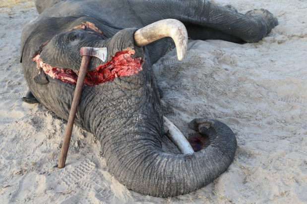 elephant poaching  Video of brutal elephant killing causes outcry in Kenya elephant poaching