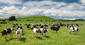 New Zealand cattle