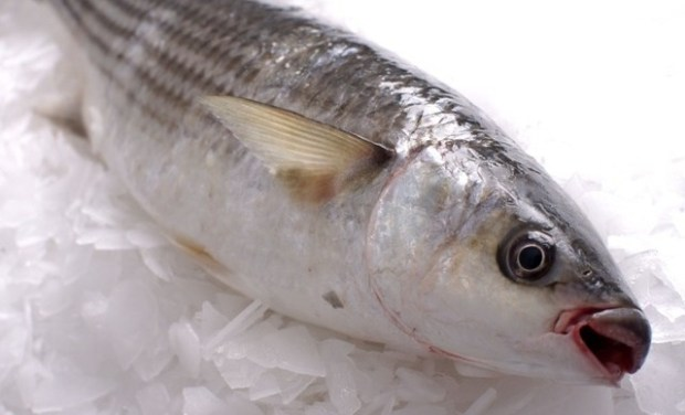 Grey-Mullet  Hong Kong fish feeding on plastic pose possible toxic risk – Greenpeace Grey Mullet