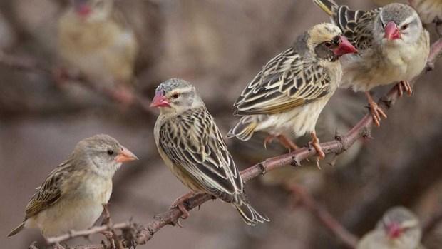 Quelea birds