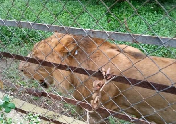 Recaptured lion