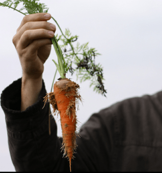 Picking carrots