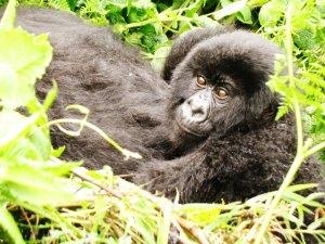 A baby gorilla
