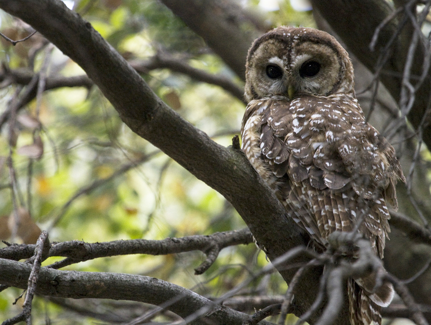 The Center for Biological Diversity: Saving One Owl at a Time