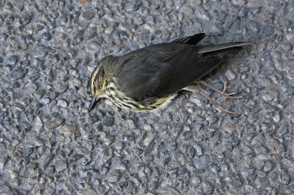 Why Windows are Killing Birds and What to Do About it
