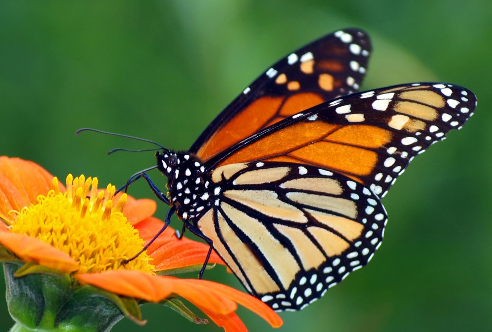 Why Planting Tropical Milkweed Is Actually Hurting Monarch Butterflies