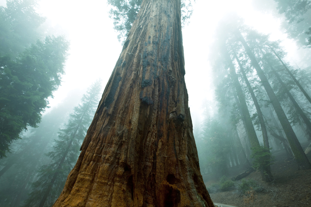 Asian Dust Feeds Giant Sequoias In the United States