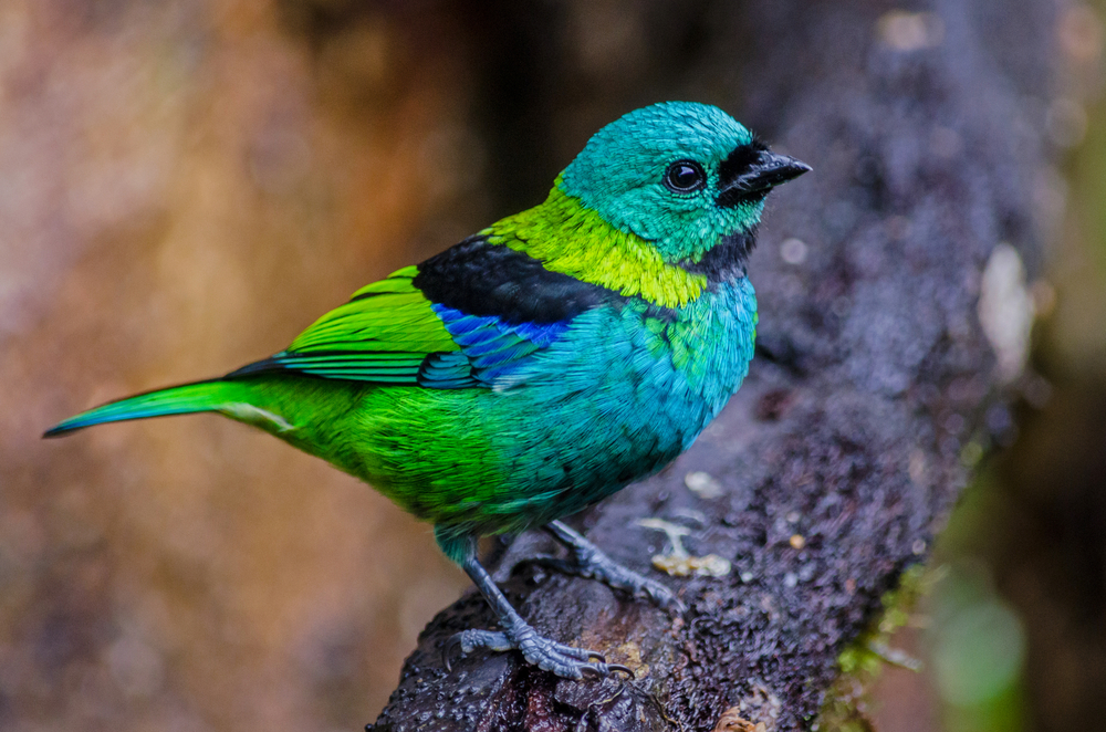 Tropical Birds Outside Their Comfort Zone More Vulnerable to Deforestation