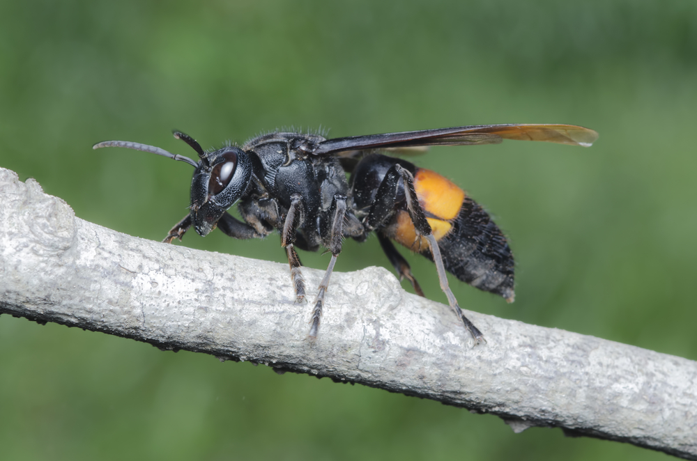 Asian Giant Hornets Invade Pacific Northwest