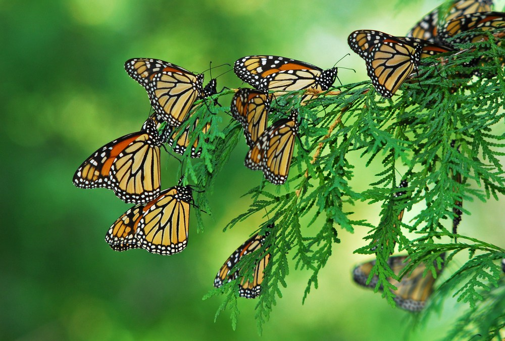 Public-Private Partnership Will Restore Monarch Butterflies' Migration Corridors