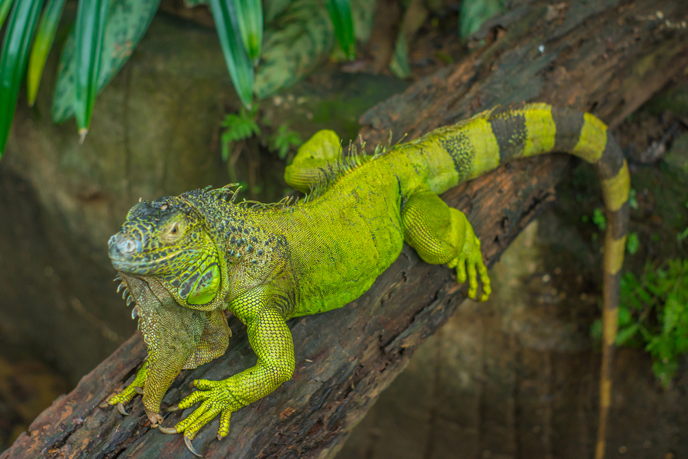 Teenager Wants to Curb Hunting of Endangered Wild Iguanas
