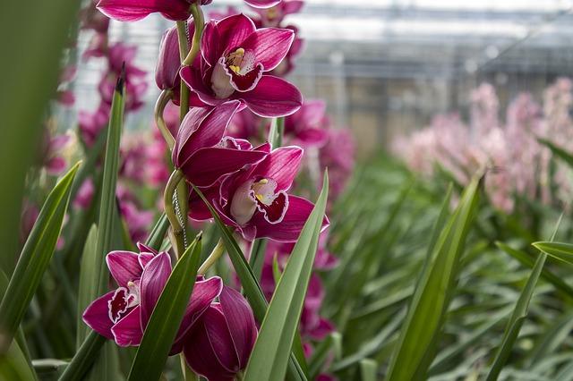Pink orchids growing in a nursery super green nursery