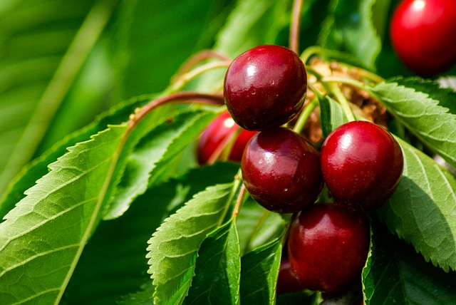 Cherries on a cherry tree