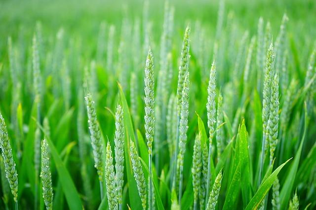 Wheat spikes in a green wheat field