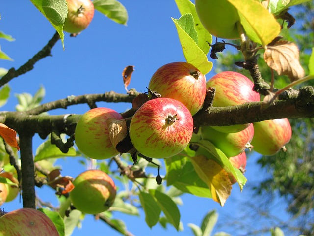 Apples on an open air tree