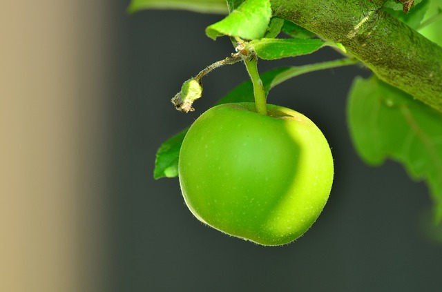 Picture of a green apple on a tree