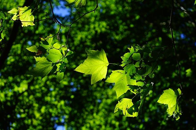Sunlight shining through green leaf canopy