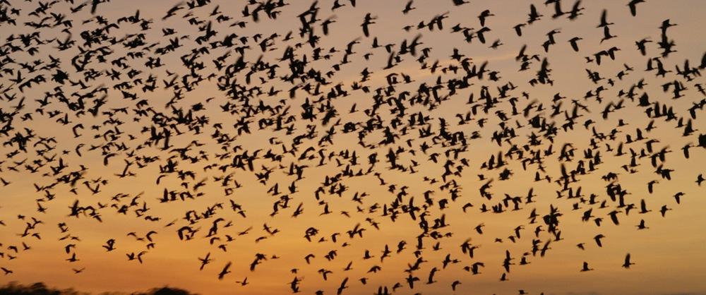 Flocks of birds flying against a sunset